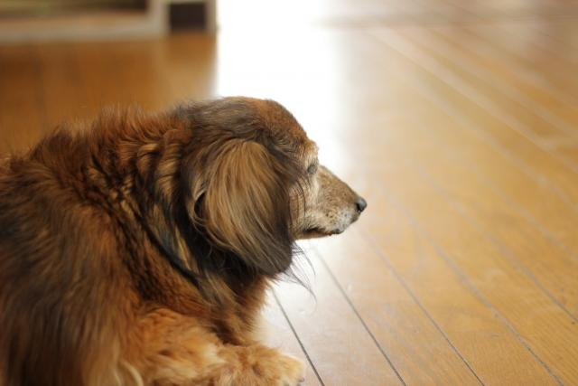 老齢期の犬